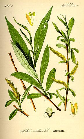 Saule Blanc - Salix Alba