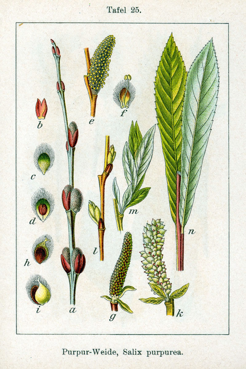 Saule pourpre - Salix Purpuréa