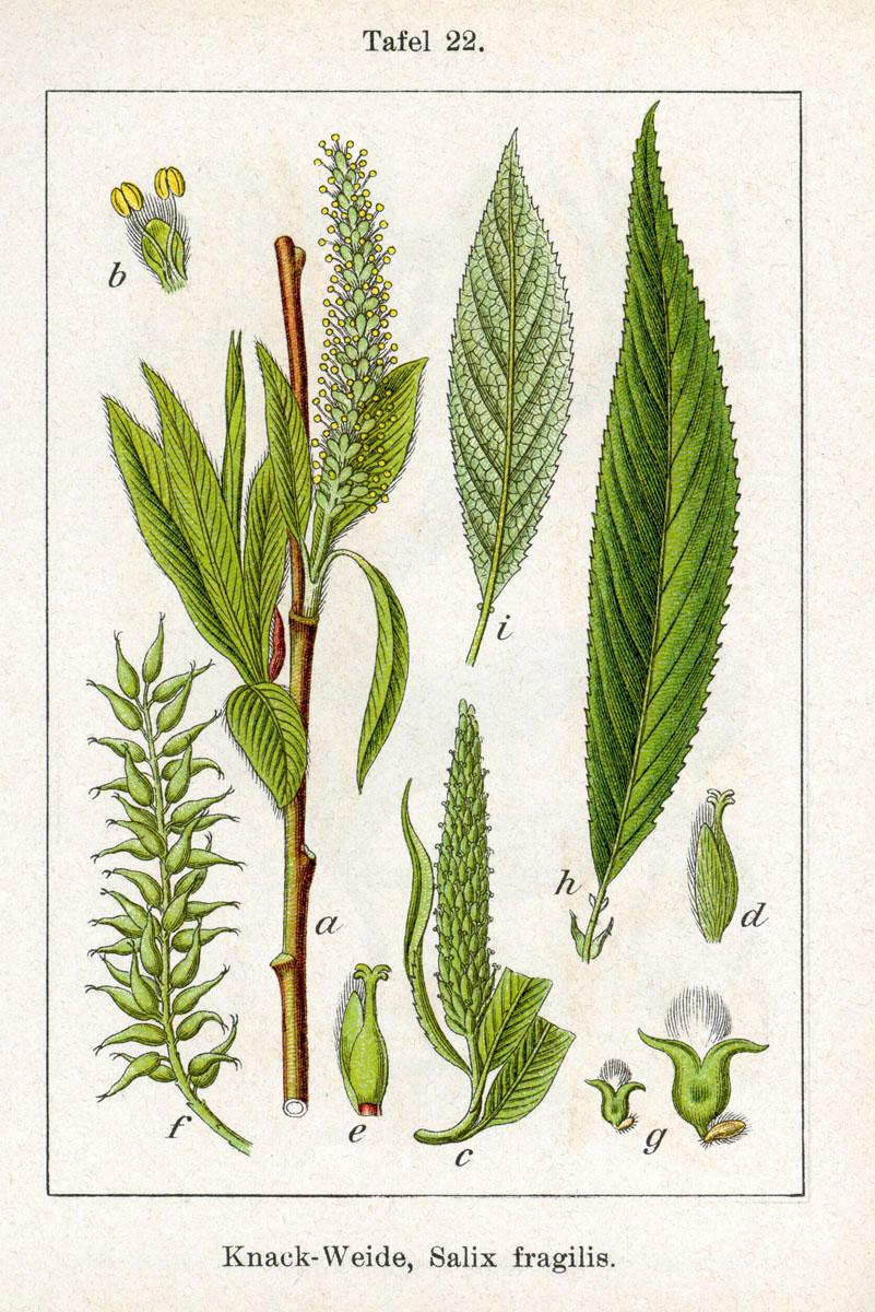 Saule Fragile ou Saule Rouge - Salix Fragilis