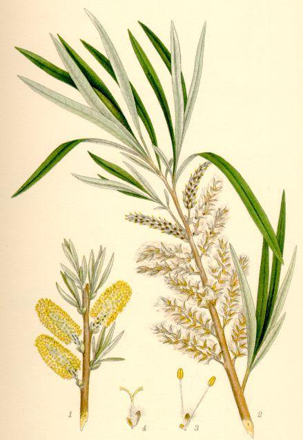 Saule des Vanniers - Salix Viminalis